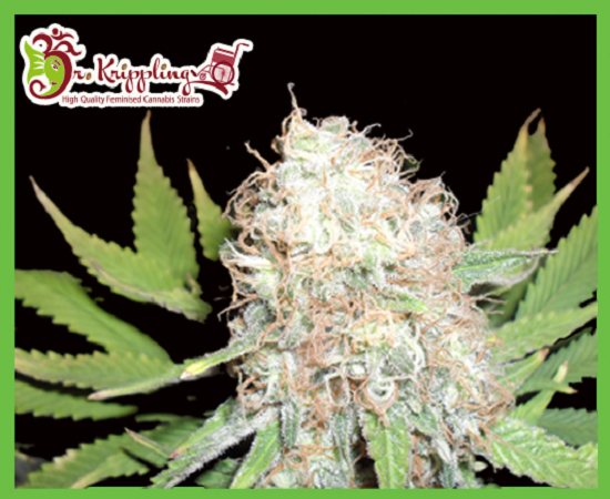 Dr Krippling Seeds Bud Bud Bling Tingz Feminized