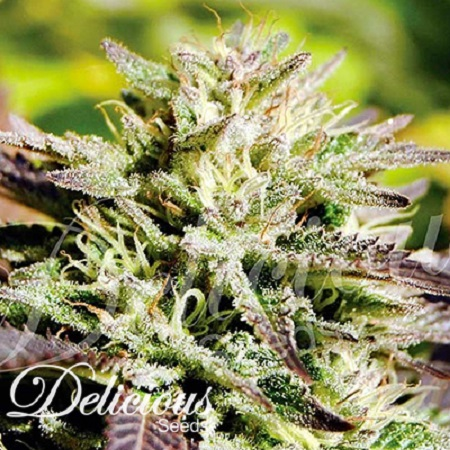 Delicious Seeds Caramelo F1 Early Version Feminized