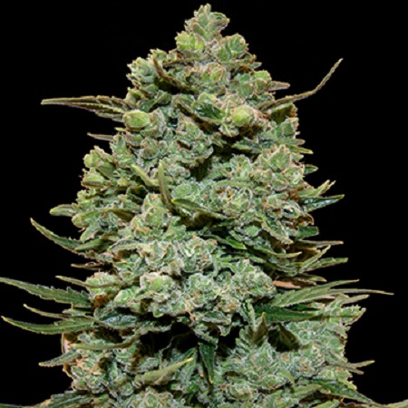Barney's Farm Seeds Cookies Kush Feminized (PICK N MIX)