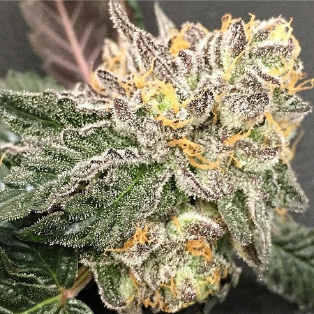 wedding cake weed plant gelato bx regular cannabis seeds by purple caper seeds 26800