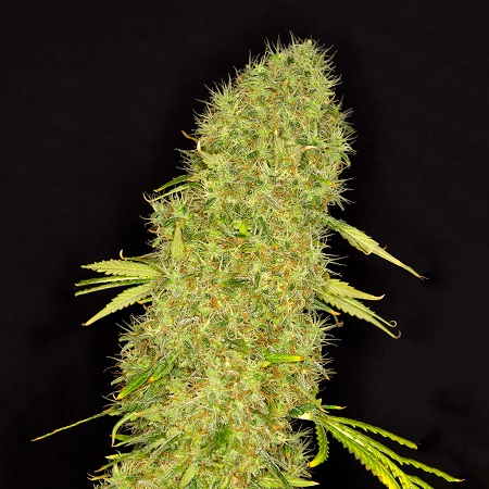 Dready Seeds Mango Jack Feminized