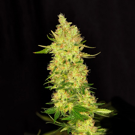 Dready Seeds NorthernCheese Feminized