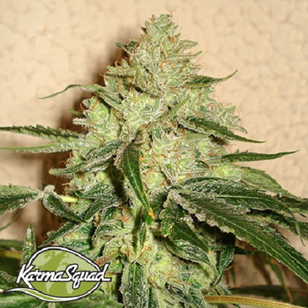 Karma Squad Seeds RoadDawg Feminized