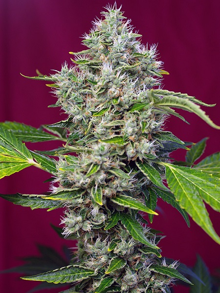 Sweet Seeds San Fernando Lemon Kush Feminized