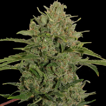 Barney's Farm Seeds Triple Cheese Feminized (PICK N MIX)