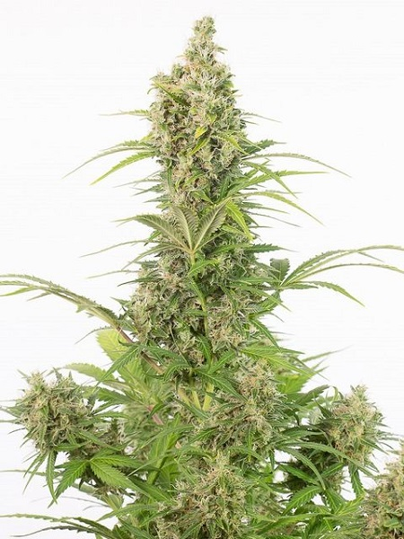 Dinafem Seeds White Widow Autoflowering CBD Feminized