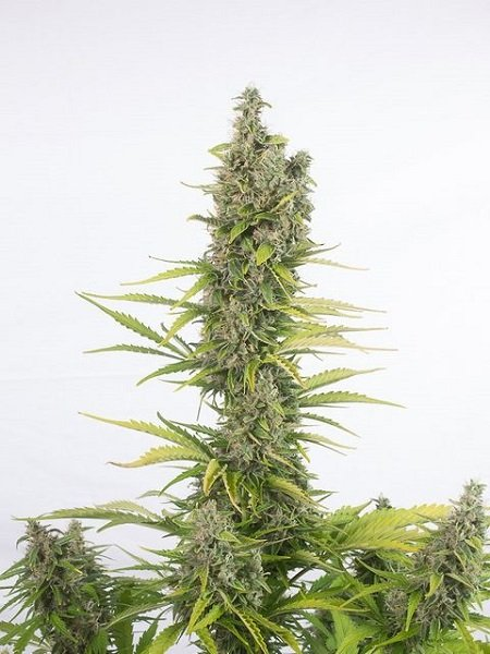 Dinafem Seeds Amnesia Autoflowering CBD Feminized