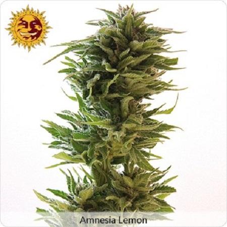 Barney's Farm Seeds Amnesia Lemon Feminized (PICK N MIX)