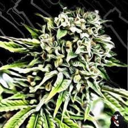 Critical Mass Collective Seeds Auto Anonymass Feminized