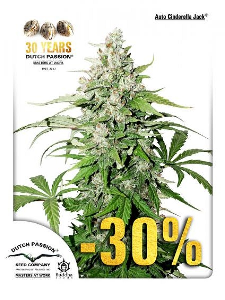 Dutch Passion Seeds Auto Cinderella Jack Feminized