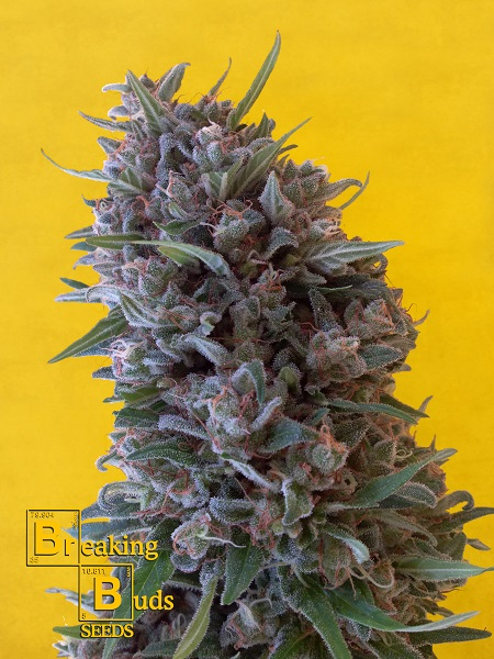 Breaking Buds Seeds Cheeisenberg Feminized