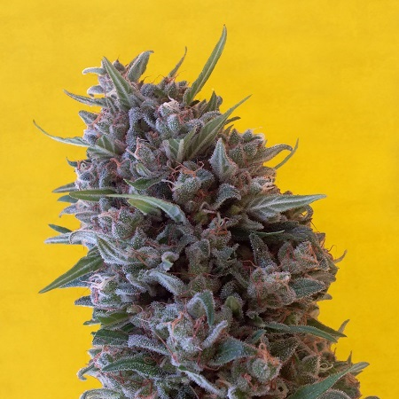 Breaking Buds Seeds Cheeisenberg Feminized (PICK N MIX))