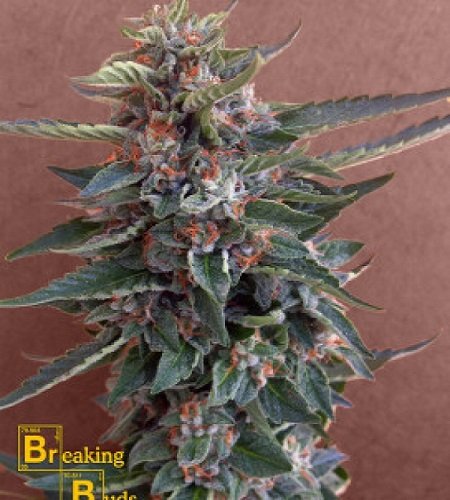 Breaking Buds Seeds Chocolate Cookies Feminized