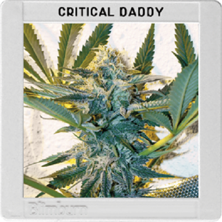 Blimburn Seeds Critical Daddy Purple Feminized
