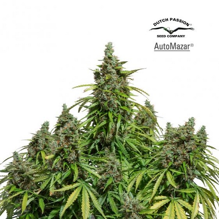 Dutch Passion Seeds AutoMazar Feminized (PICK N MIX)