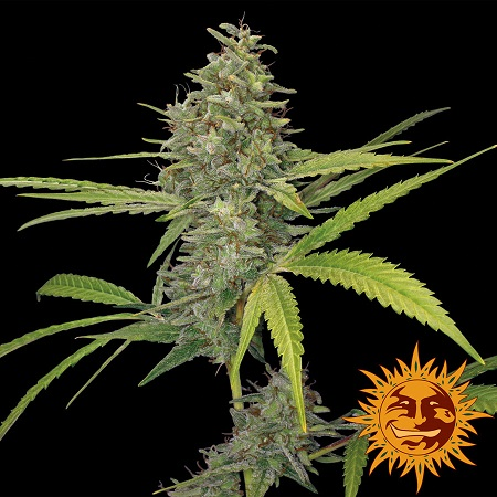 Barney's Farm Seeds G13 Haze Feminized