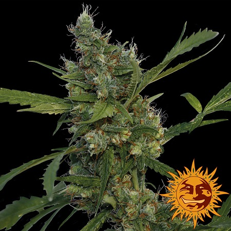 Barney's Farm Seeds Morning Glory Feminized (PICK N MIX)