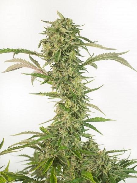 Dinafem Seeds O.G. Kush Autoflowering CBD Feminized (PICK N MIX)