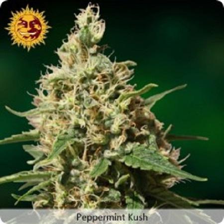 Barney's Farm Seeds Peppermint Kush Feminised (PICK N MIX)