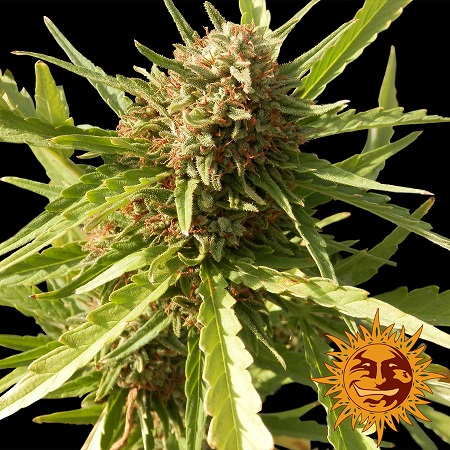Barney's Farm Seeds Red Cherry Berry Feminized (PICK N MIX)