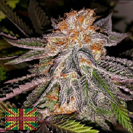 Connoisseur Genetics Seeds Strawberry Cookies Feminized