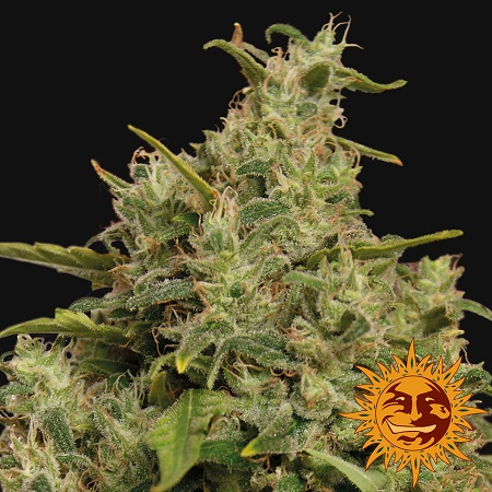Barney's Farm Seeds Sweet Tooth Feminized (PICK N MIX)