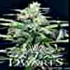 The 7 Dwarfs - Colossus Auto Flowering Feminized