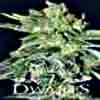 The 7 Dwarfs - Gigantes Auto Flowering Feminized