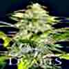 The 7 Dwarfs - Titan Auto Flowering Feminized