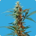 Seeds of Life Nordika Auto Feminized Pick N Mix