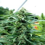 Emerald Triangle Seeds Cherry OG Feminized