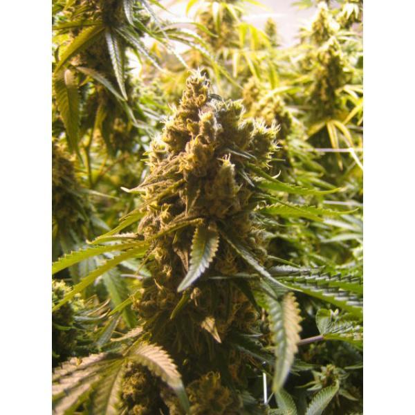 Mosca Seeds Cinderella 99 BX-1 Regular