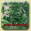 Amaranta Seeds - Amarant Automatic
