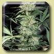 Amaranta Seeds - The Silver Haze