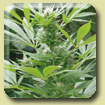 Amaranta Seeds - Easy Bud