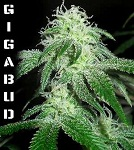 G13 Labs - Gigabud Fem