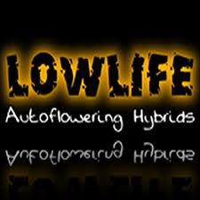 Lowlife Seeds Auto Cheese Feminized