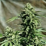 Emerald Triangle Seeds California Wildfire Feminized