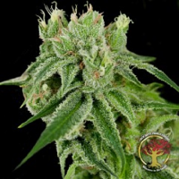 Crockett Family Farms Seeds Banana Split Regular