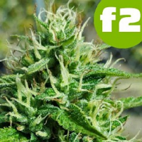 Roor Seeds Big Critical F2 Feminized