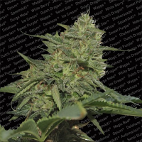 Paradise Seeds Original Cheese IBL Feminized