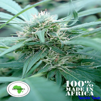 Seeds of Africa Mozambica Regular