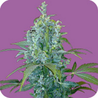 Seeds of Life Kabala Auto Feminized