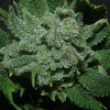 Jordan of the Islands Seeds Chemo Regular