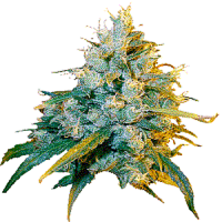 Secret Valley Seeds Jamaican Grape Feminized