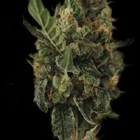 Kera Seeds Cherry Grapefruit Feminized