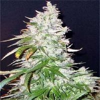 Seedsman Seeds Northern Soul Feminised