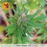 Barney's Farm Seeds Little Cheese Auto Feminized