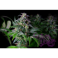 La Plata Labs Big White Feminized