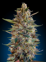 Advanced Seeds Auto Blue Diesel Feminised